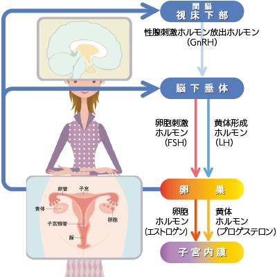 ホルモン 黄体